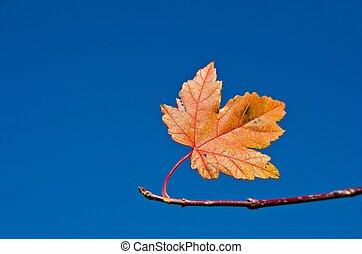 foglia albero, acero, ramo, cadere