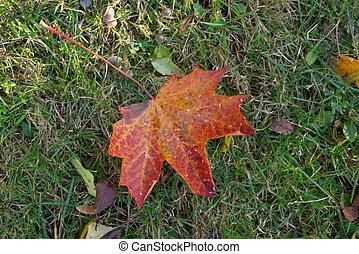foglia autunno, rosso