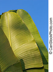 foglia banana, come, uno, fondo, il, cielo