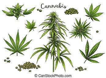 foglia canapa, canapa, mano, semi, vettore, disegnato, illustrazione, schizzo, marijuana, set, germoglio, verde, colorare, cannabis., pianta