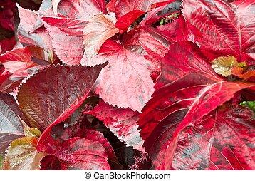 foglia, closeup, rosso, leaves., autunno