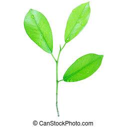 foglia verde, con, gocce, di, acqua, isolato, bianco, fondo
