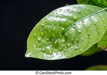 foglia verde, con, gocce, di, water., sfondo nero