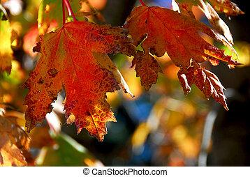 foglie, acero, cadere