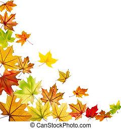 foglie acero, cadere