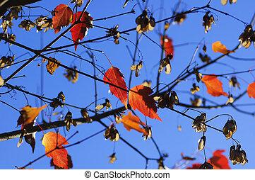foglie, acero, fondo