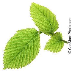 foglie, bianco, isolato