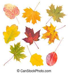 foglie, isolato