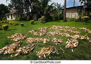 foglie palmo, essiccamento, in, navala, villaggio, viti levu, isola, figi