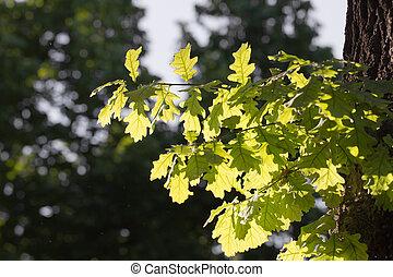 Foglie, quercia, natura