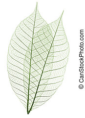 foglie, scheletro