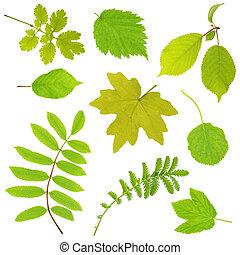 foglie, set, isolato, bianco