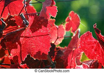 foglie, uva