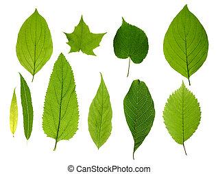 foglie, verde, isolato