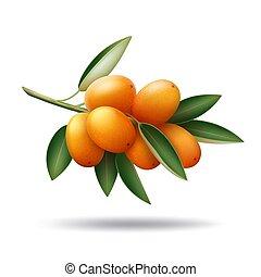 foglie, verde, ramo, frutte, arancia, kumquat