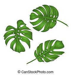 foglie, vettore, giungla, tropicale, philodendron