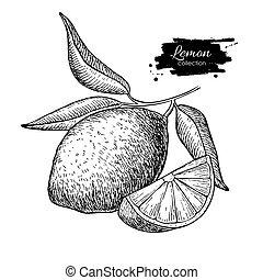 foglie, vettore, mano, frutta, branch., cedro limone, disegnato, o