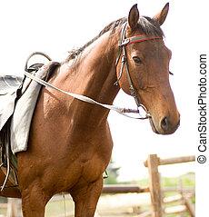 fohlen, braunes pferd