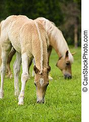 fohlen, pferd, haflinger
