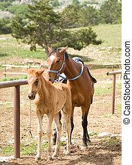 fohlen, pferd