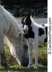 fohlen, pony, &