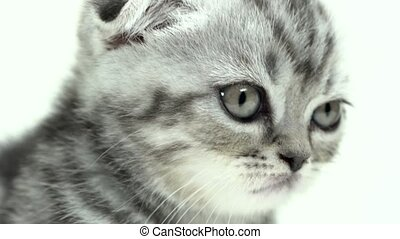 Folded kitten looks into the distance. White background....