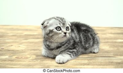 Folded toddler kitten scottish fold is played looking up....