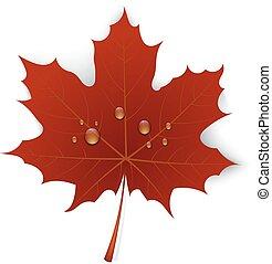 folha, água, maple, fundo, branca, gotas, vermelho