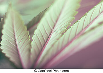 folha cânhamo