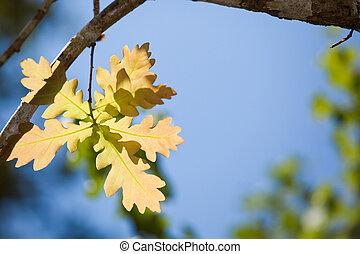 folha carvalho, em, luz solar