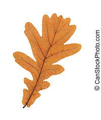 folha carvalho, isolado, branco, fundo