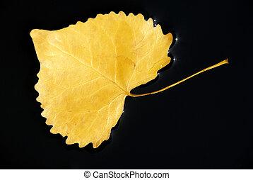 folha cottonwood, em, água