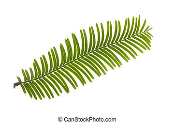 folha, de, redwood gigante, árvore