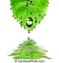 folha, isolado, água, verde branco, gotas