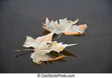 folha, ligado, a, água