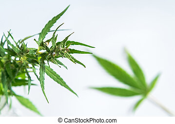 folha, médico, marijuana, isolado, cannabis, limpo, backg, branca, sobre