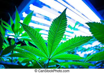 folha marijuana