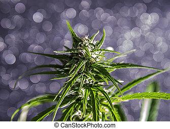 folha, marijuana, bud.