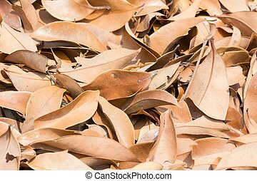 folha marrom, de, lychee, árvore