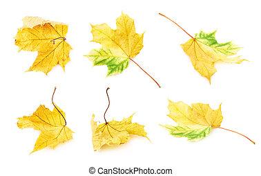 folha outono, amarela, maple, isolado