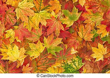 folha outono, folhas, fundo, maple, outono