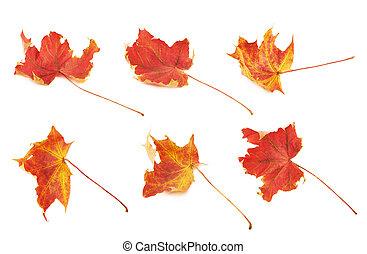 folha outono, maple vermelho