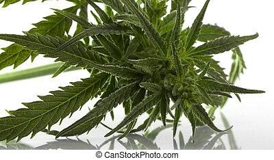 folha, sobre, marijuana, isolado, cannabis, branca
