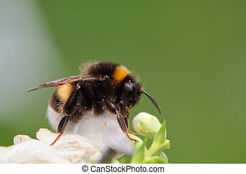 folha verde, bumble-bee, sentando