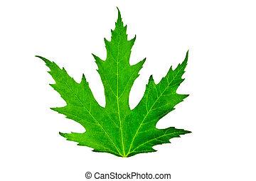 folha verde, de, maple, isolado