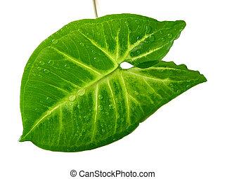 folha verde, fundo branco