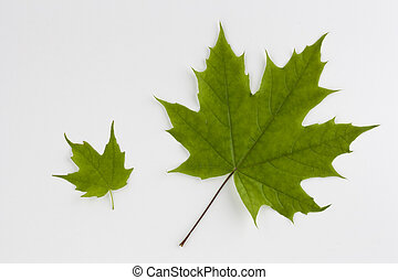 folha verde maple