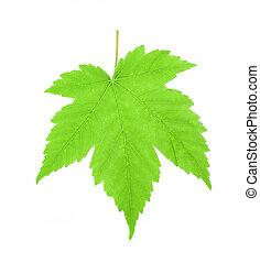 folha verde maple, isolado, branco, fundo