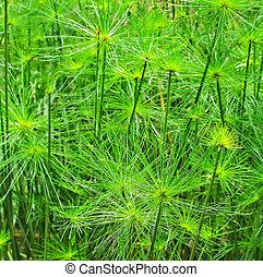 folha verde, papyrus