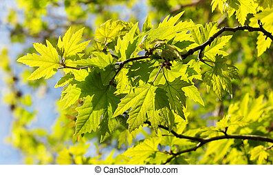 folhas, árvore sycamore, sunlit